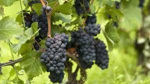 URGENT. Un viticulteur bio au tribunal pour avoir refusé des pesticides